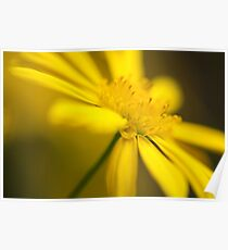 A yellow daisy to brighten my day! Poster