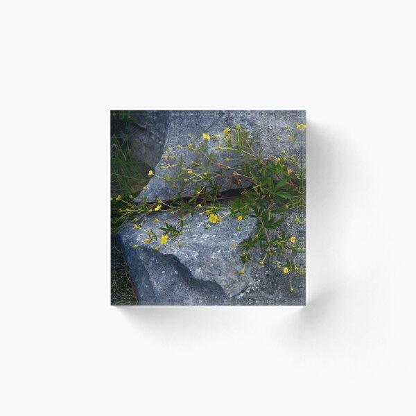 Tormentil, Dun Aengus, Inishmore, Aran Islands Acrylic Block