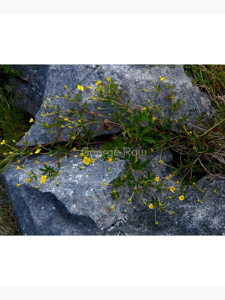Tormentil, Dun Aengus, Inishmore, Aran Islands by VeryIreland