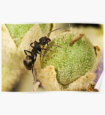 Small Dolly Ant Poster