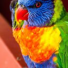 Rainbow Lorikeet Closeup by Roger Hodkinson