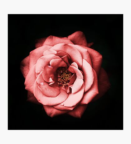 Its a Red Rose Photographic Print