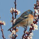 North American Bluebird  by Arla M. Ruggles