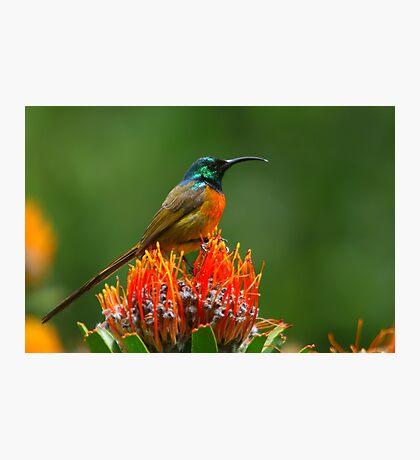 Orange-breasted Sunbird  Photographic Print
