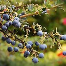 Berries by Alison Lekarev