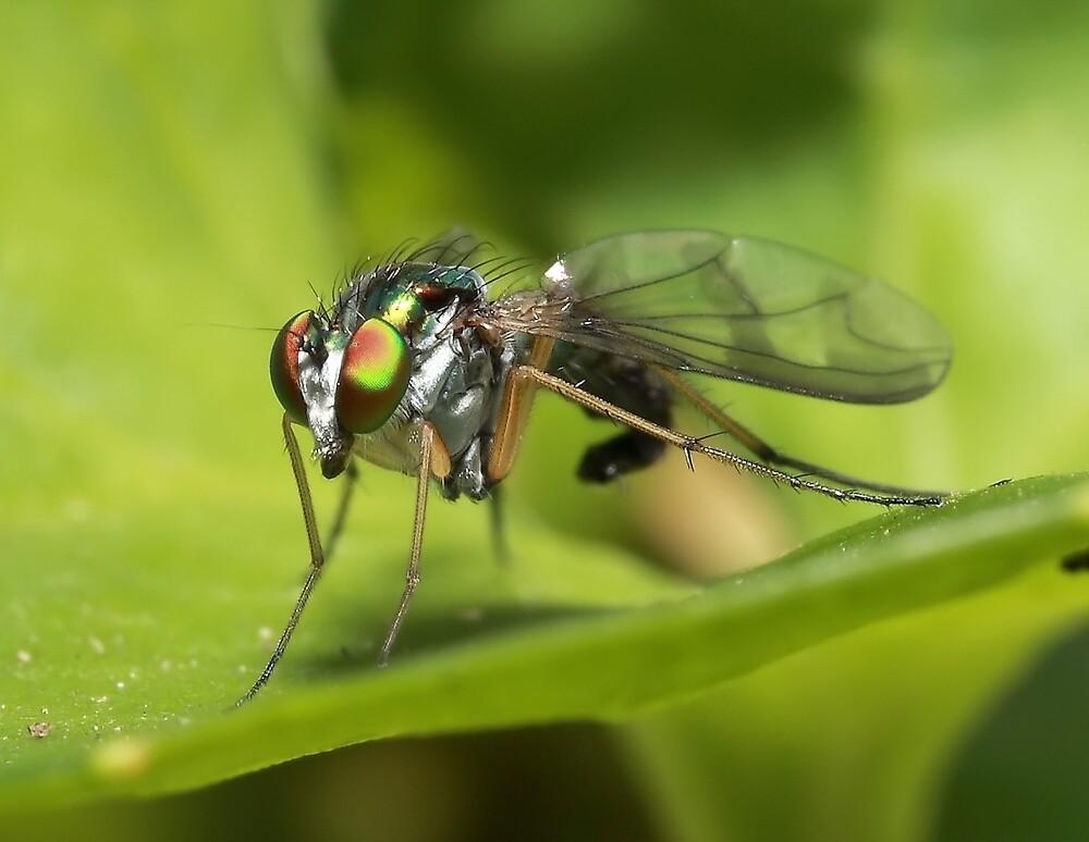 Dolichopodidae, Green Fly by Darren Post