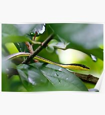 Painted Bronzeback - Dendrelaphis pictus Poster