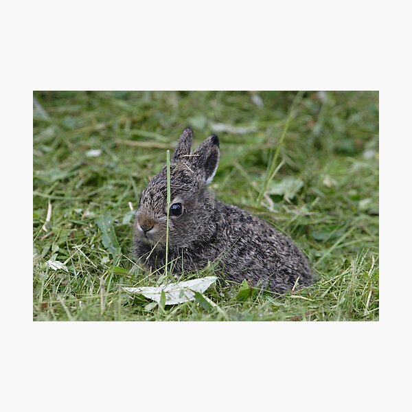 Mountain hare cub Photographic Print