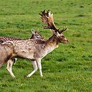 Fallow Deer by Ray Clarke