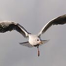 Gull inflight by Alexa Pereira