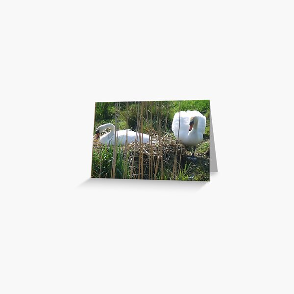 Mute Swans nesting Greeting Card