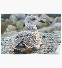 Nestling Gull Poster