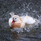 Splash - White Mandarin Duck by Jo Nijenhuis
