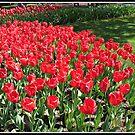 Scarlet Tulips in the Keukenhof Gardens, Holland von BlueMoonRose
