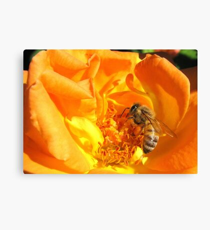 Bee ~ Stopping to smell the Rose Canvas Print