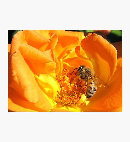 Bee ~ Stopping to smell the Rose Photographic Print