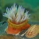 Anemone and Chiton by Andrew Newton