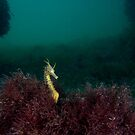 Big-Belly Seahorse by Andrew Newton