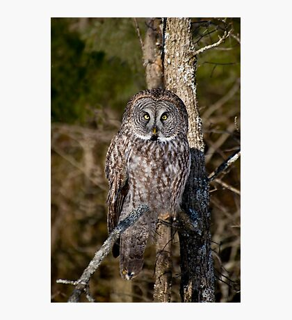 Great Gray Owl Photographic Print