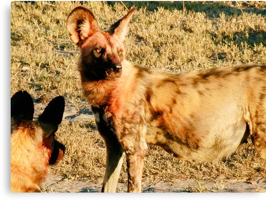 Pregnant Female Wild Dog After the Hunt - Okavango Delta, Botswana by Nina Brandin
