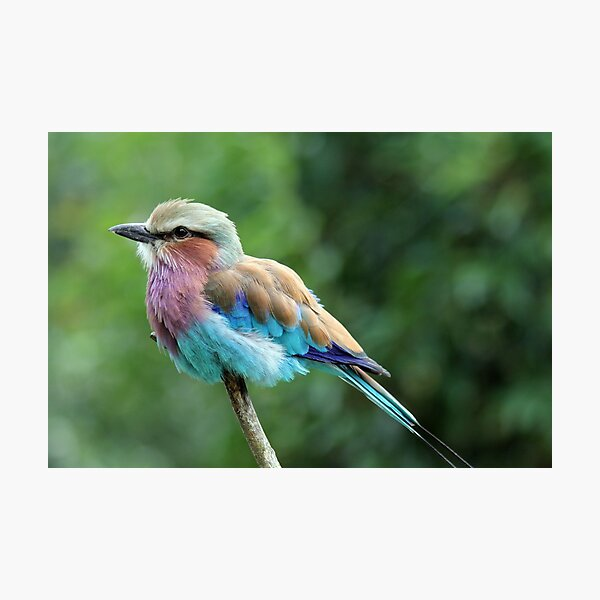Lilac Breasted-Roller  Photographic Print