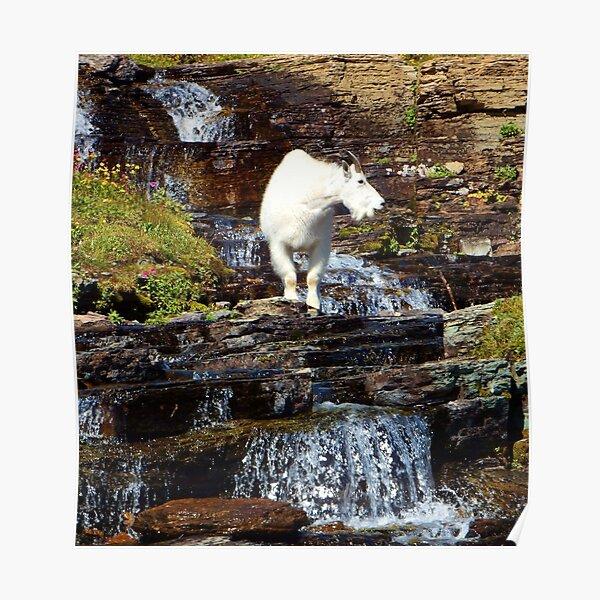 Logan Pass Mountain Goat Poster
