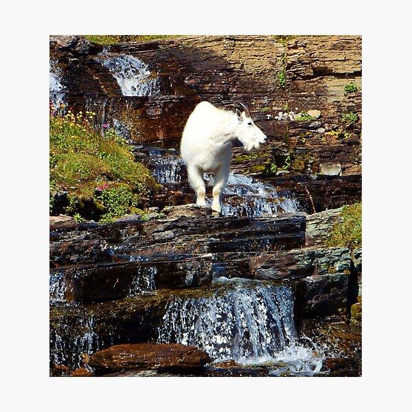 Logan Pass Mountain Goat Photographic Print