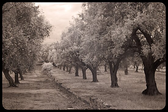 A walk through an olive grove  by Rene Hales