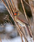 Female Northern Cardinal - Ottawa Ontario by Michael Cummings