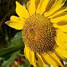 sunflower by Christina Agoris