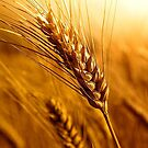 Wheat by Grinch/R. Pross
