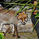 Still Life With Fox by John Hooton