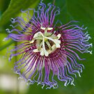 Passion Flower by Christina Agoris