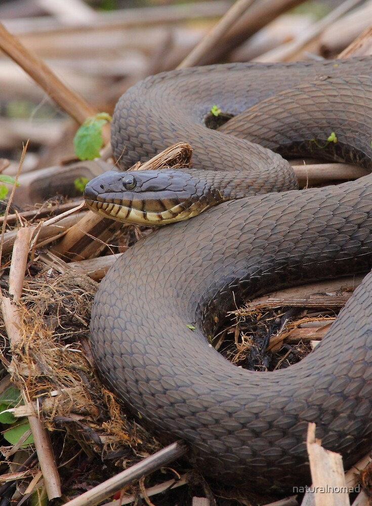 Northern Water Snake by naturalnomad