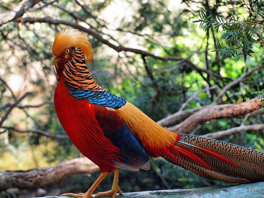 Quot Golden Pheasant Chrysolophus Pictus Quot By Clive Redbubble