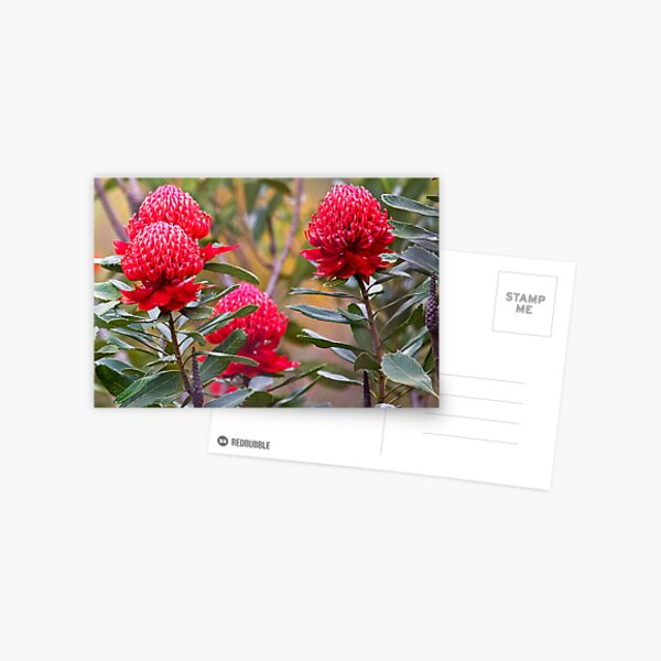 Waratah flowers Postcard