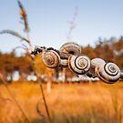 snail shells by psychoshadow
