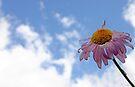 Lone Daisy by Debbie Pinard