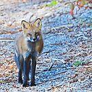 Young Fox by Lynda   McDonald