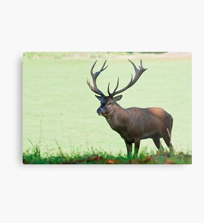 Red Stag, Wollaton Park Metal Print