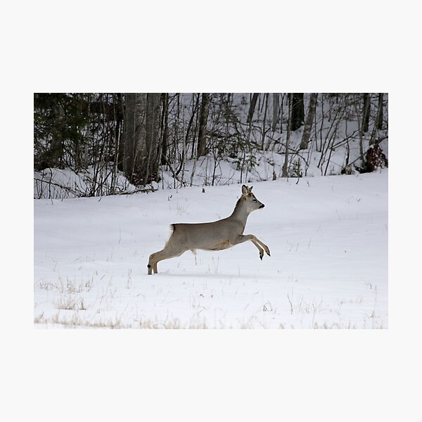Roe buck in winter 1 Photographic Print
