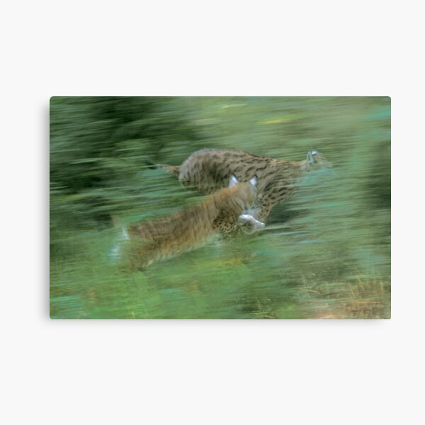 Two playing lynx Metal Print