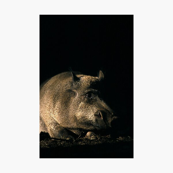 Wild boar 1 Photographic Print