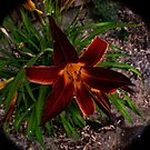 Fish Eye Tiger Lily by lillijy97