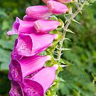 Pink Foxglove  by DIANE  FIFIELD