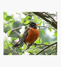 Beauty of a Male Robin Photographic Print