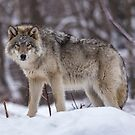 Timber wolf in winter by Josef Pittner