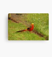Golden Pheasant Canvas Print