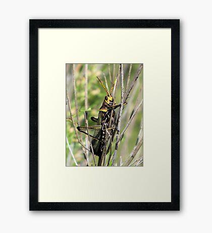 Horse Lubber Grasshopper Framed Print