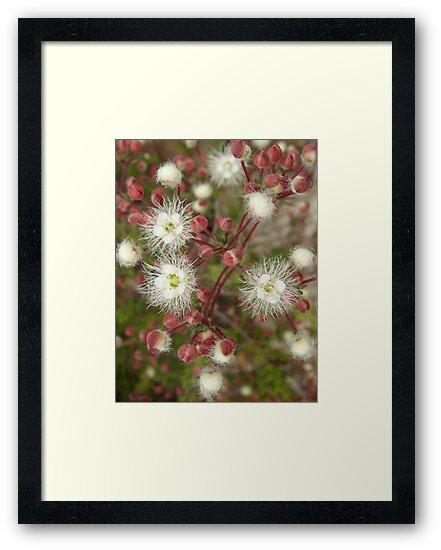 Verticordia huegelii, Variegated Featherflower by Emma Sterling